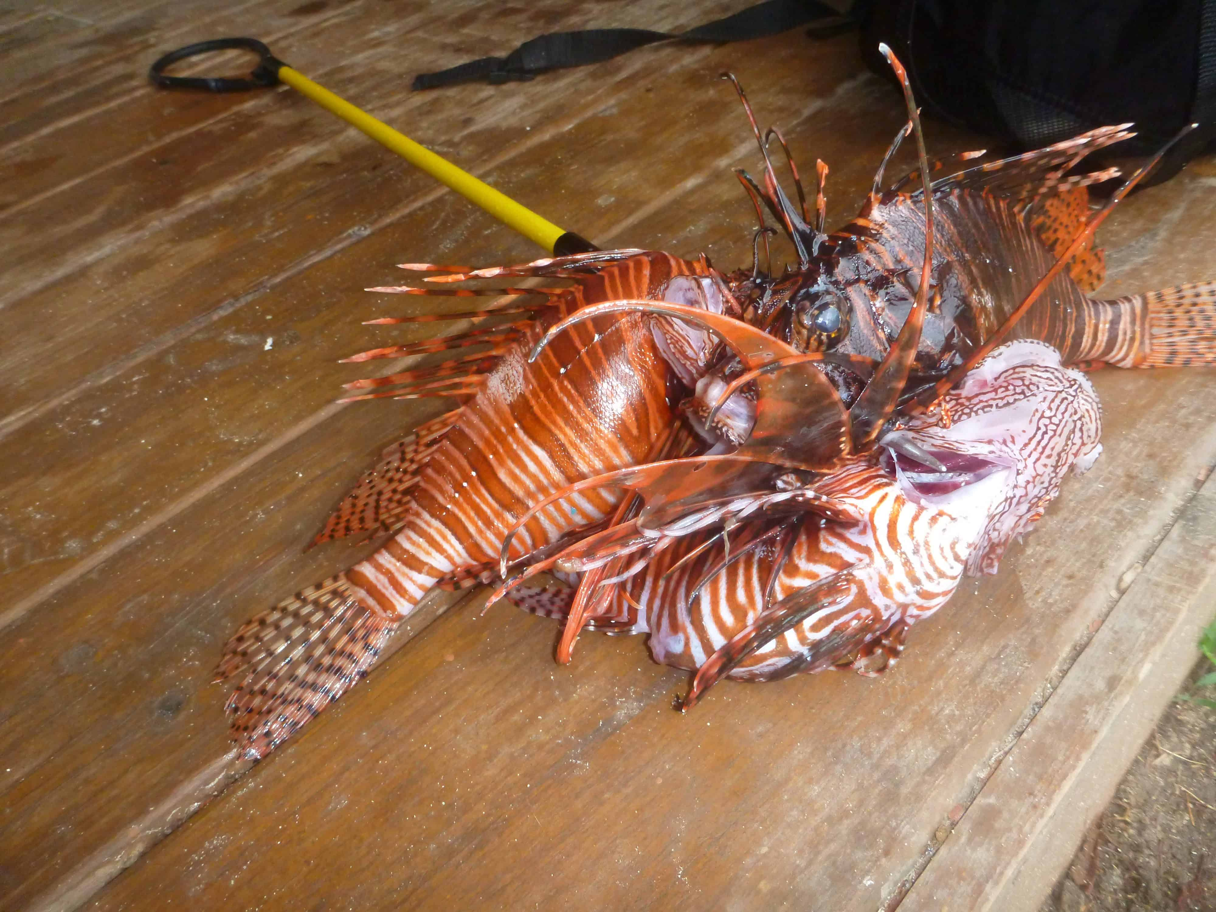 Lion fish in Roatan on the Channel Islands Dive Adventures dive vacation