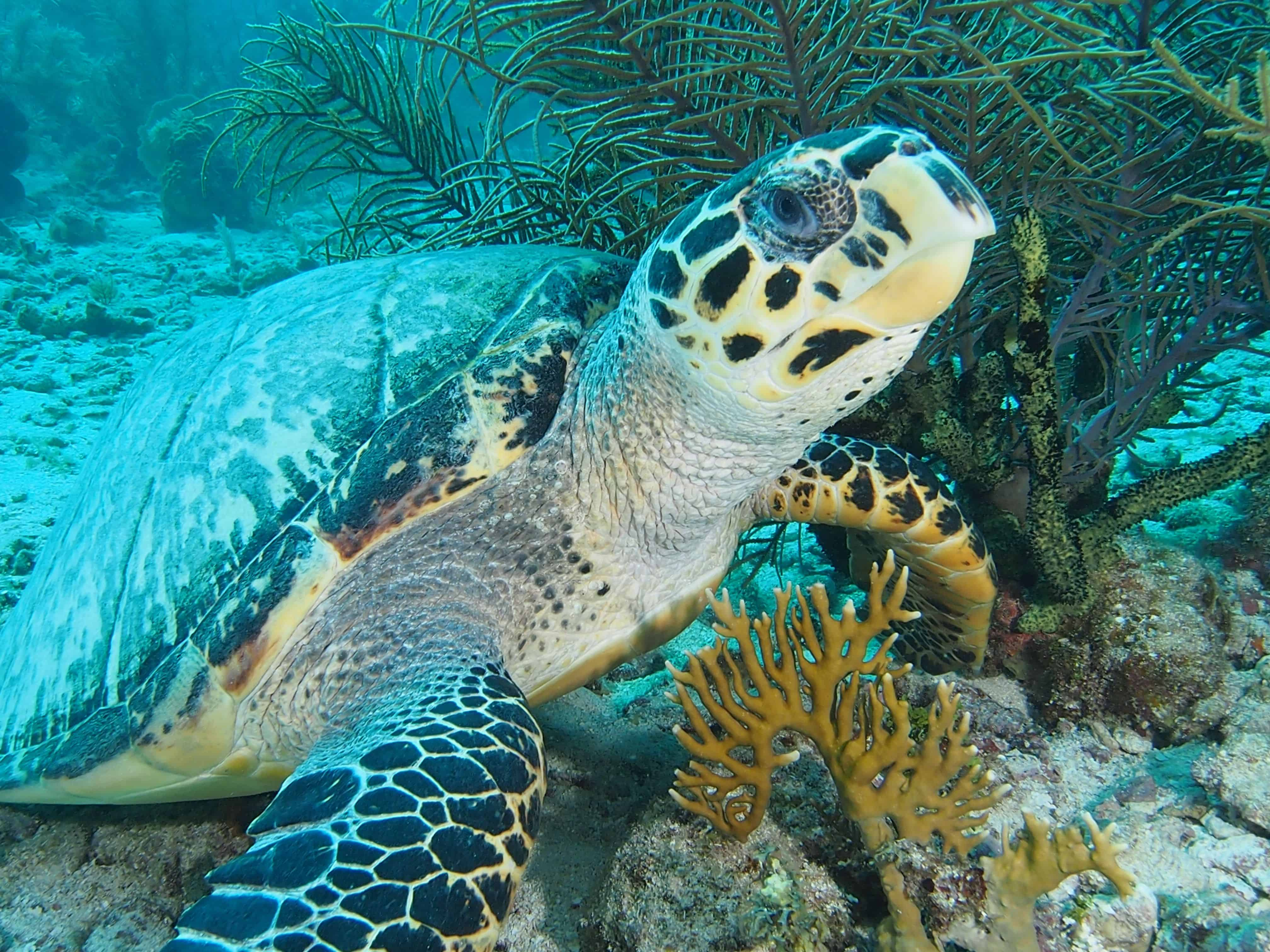 turtle in Roatan on the Channel Islands Dive Adventures dive vacation