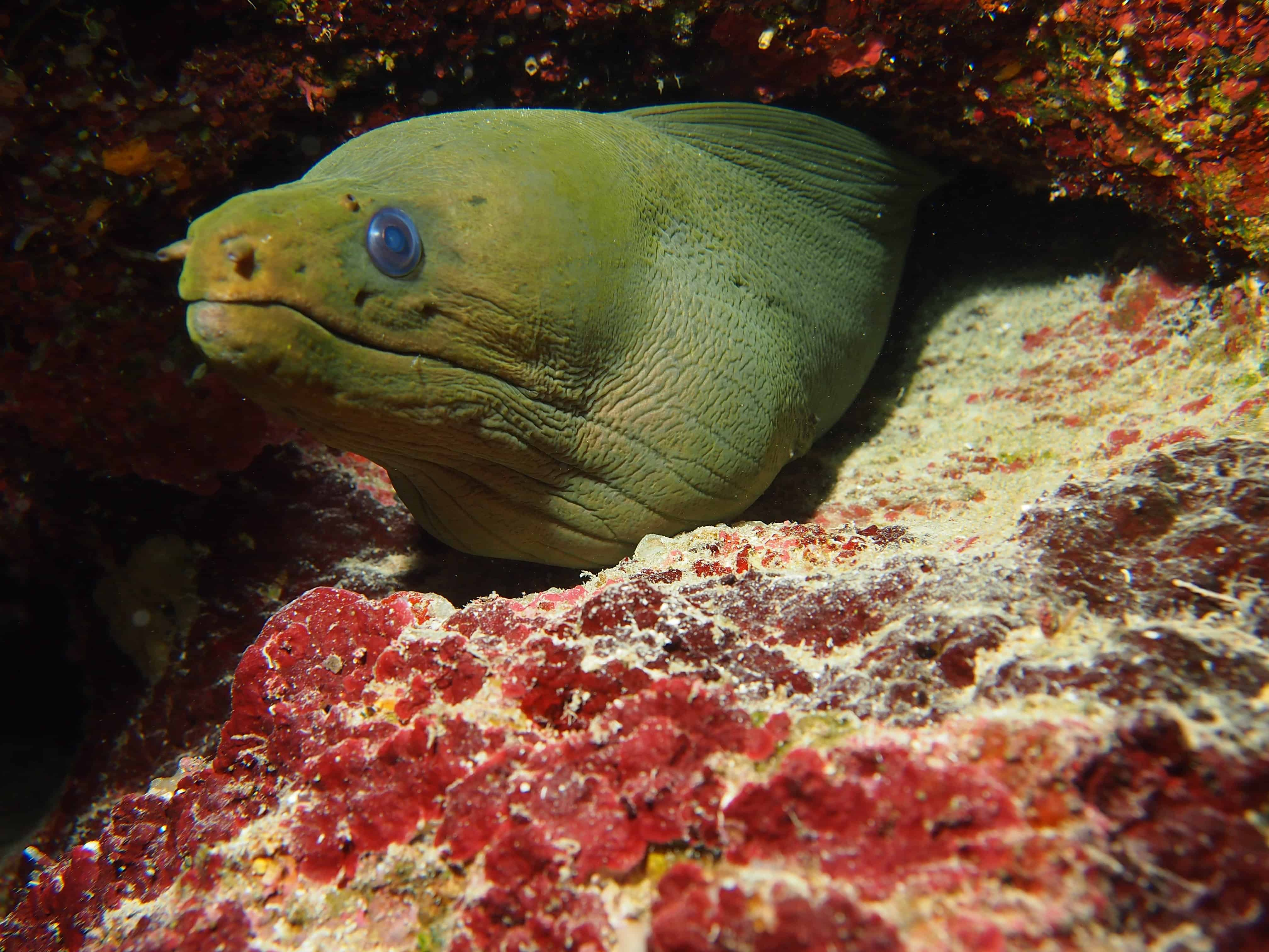 Large moray eel in Roatan on the Channel Islands Dive Adventures dive vacation