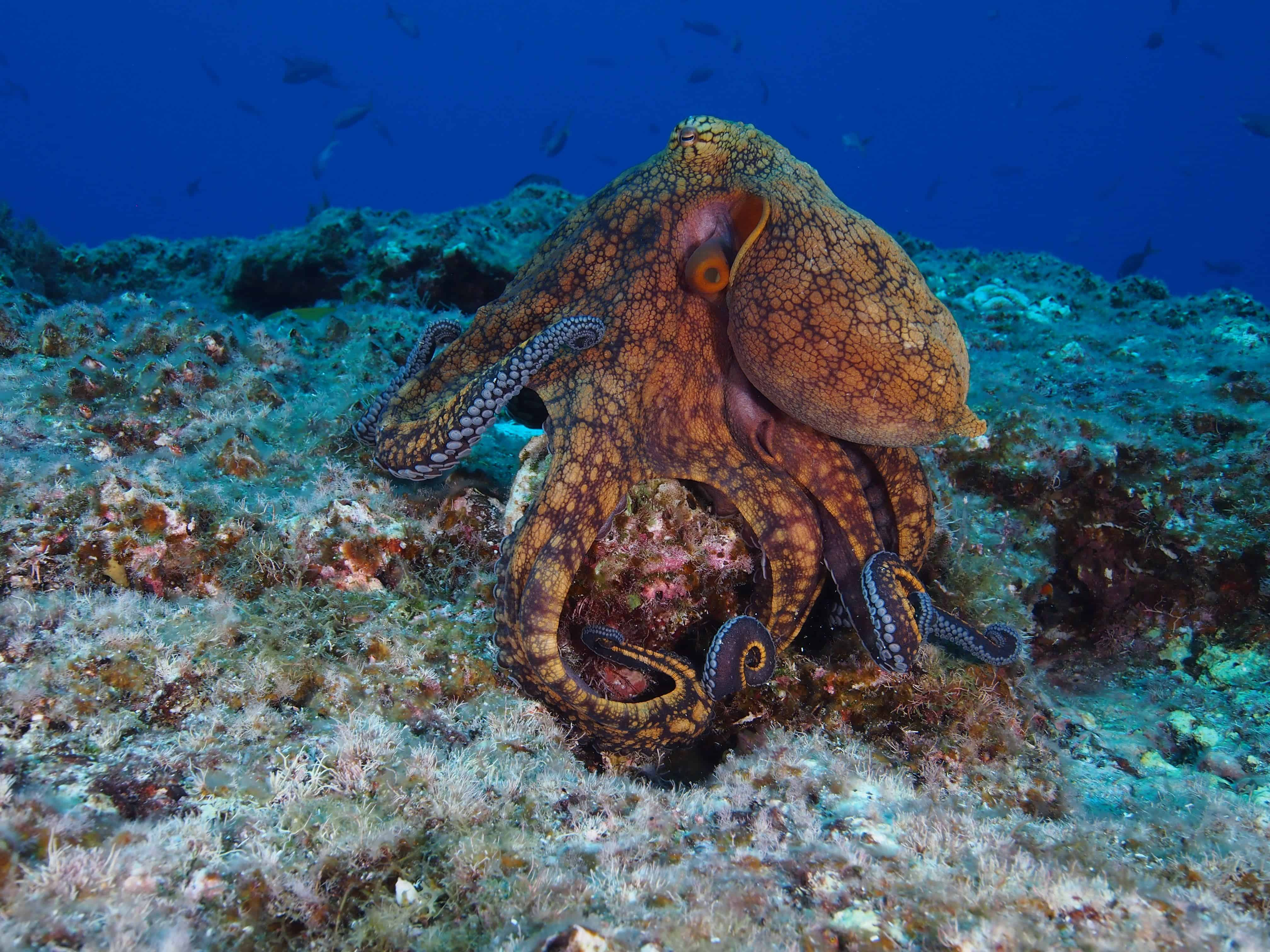 Octopus at San Benedicto on our Channel Islands Dive adventures Socorro trip aboard the Nautilus Explorer