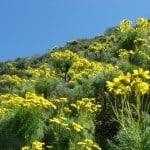 anacapa-island-flowers