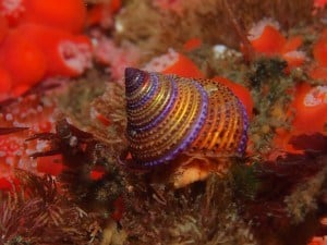 purple-top-ring-snail-san-miguel-island