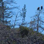Bald eagles at Santa Cruz island aboard the Truth dive boat on a Channel Islands Dive Adventures scuba trip