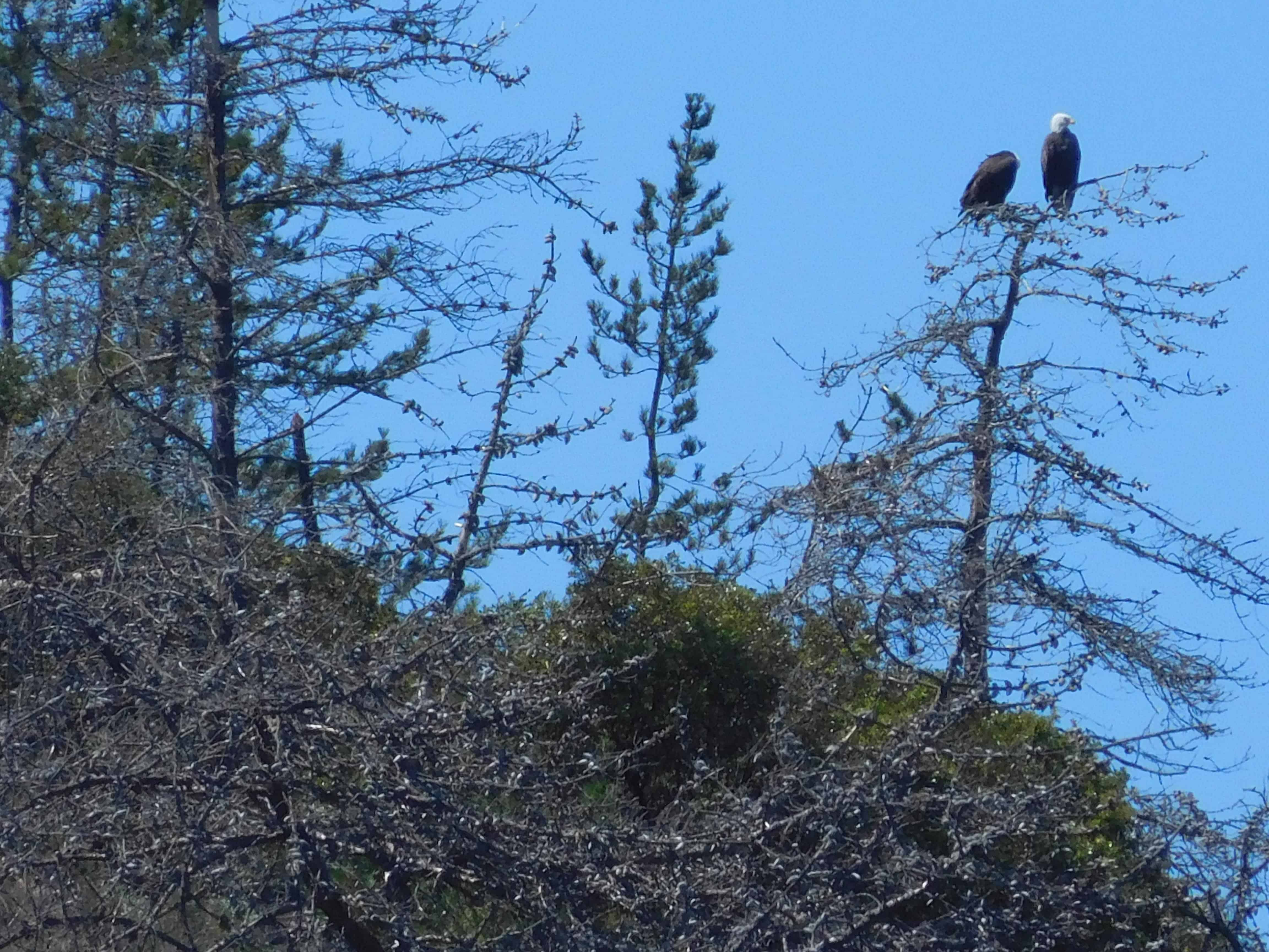 Bald eagles at Santa Cruz island aboard the Truth dive boat on a Channel Islands Dive Adventures scuba trip
