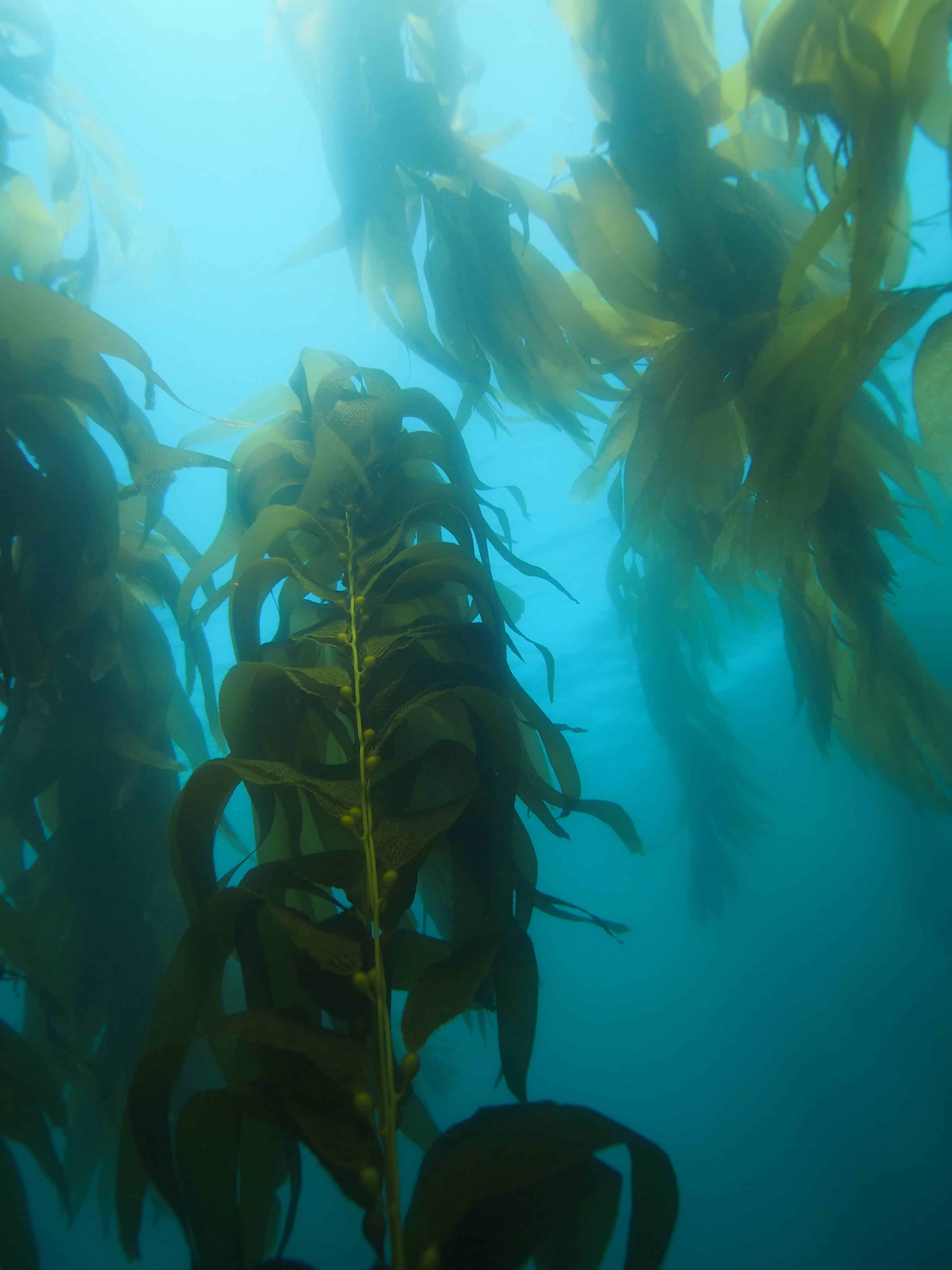 kelp forrest at Santa Cruz island aboard the Truth dive boat on a Channel Islands Dive Adventures scuba trip