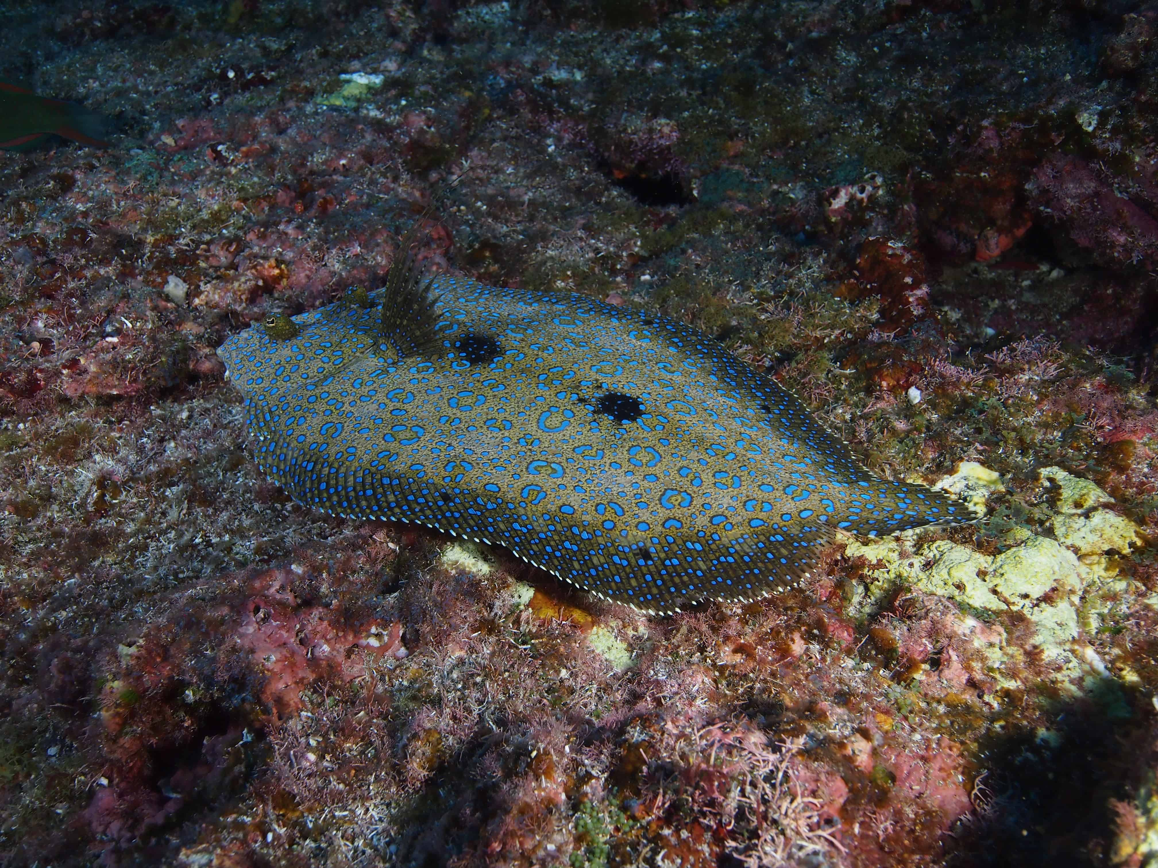 Starry flounder at the Boiler on our Channel Islands Dive adventures Socorro trip aboard the Nautilus Explorer