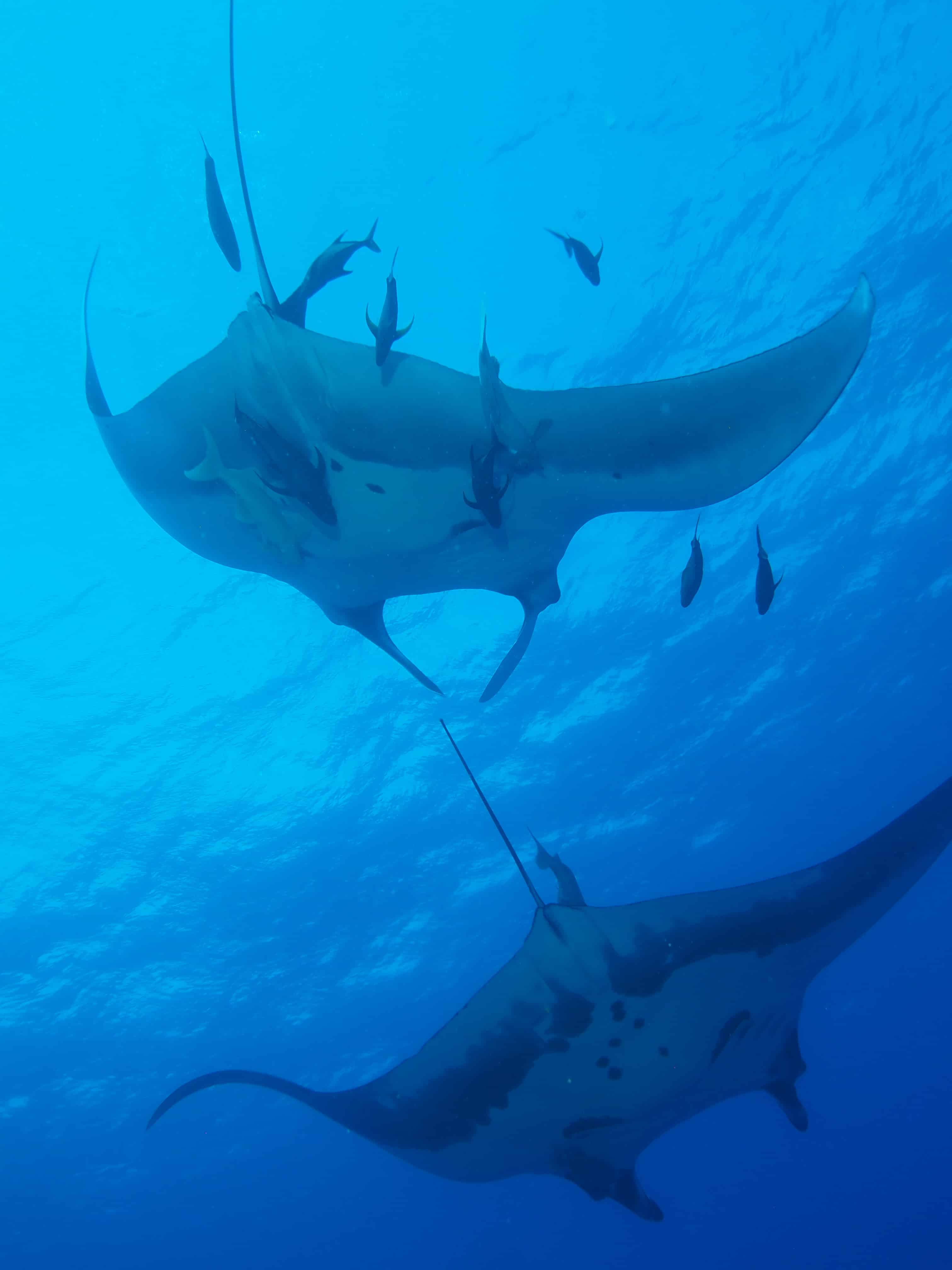 Gaint Mantas at San Benedicto on our Channel Islands Dive adventures Socorro trip aboard the Nautilus Explorer