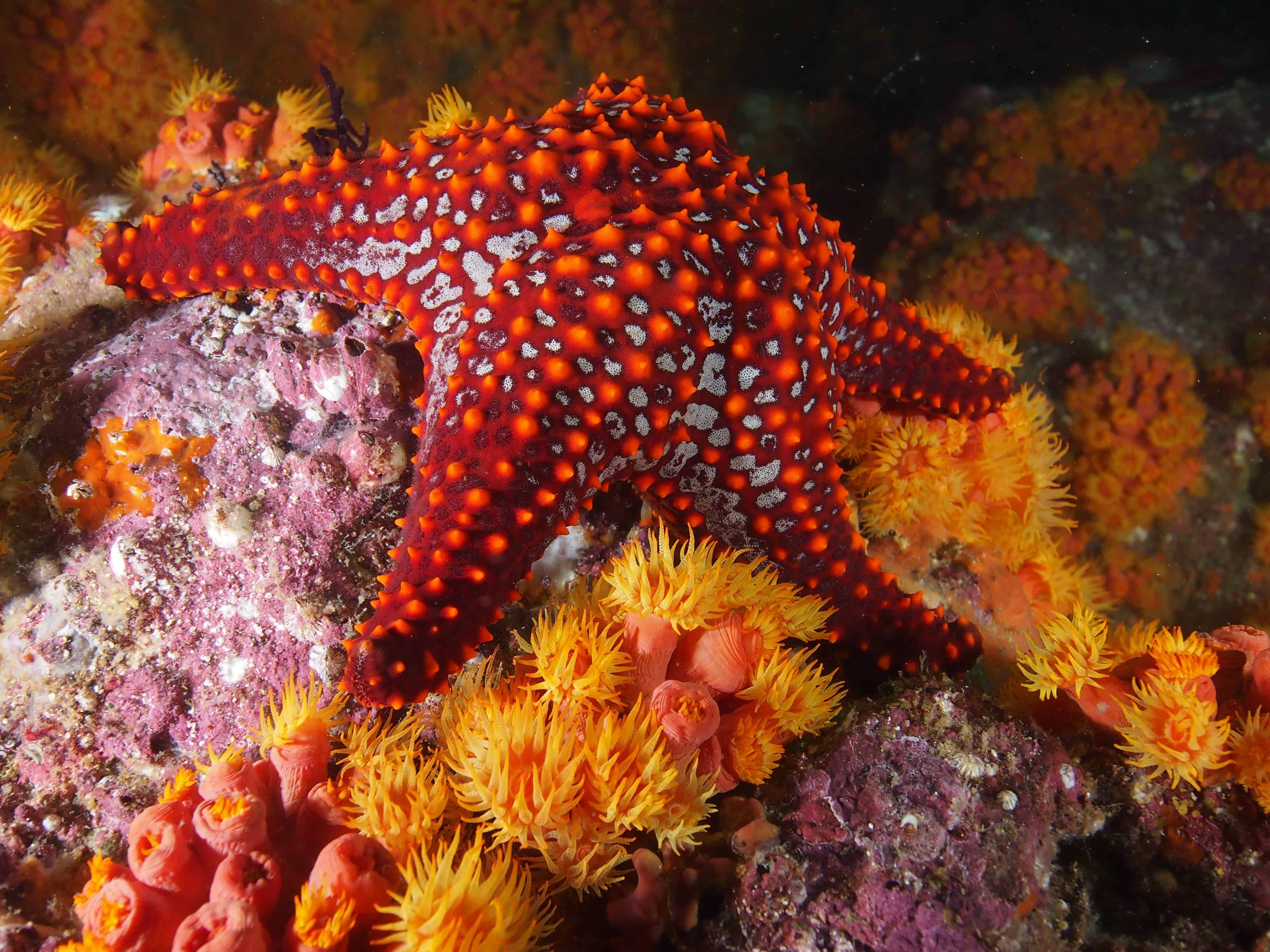 Sea star in the Sea of Cortez on our Channel Islands Dive adventures