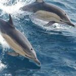 See dolphins on Channel Islands Dive Adventures whale watching trip
