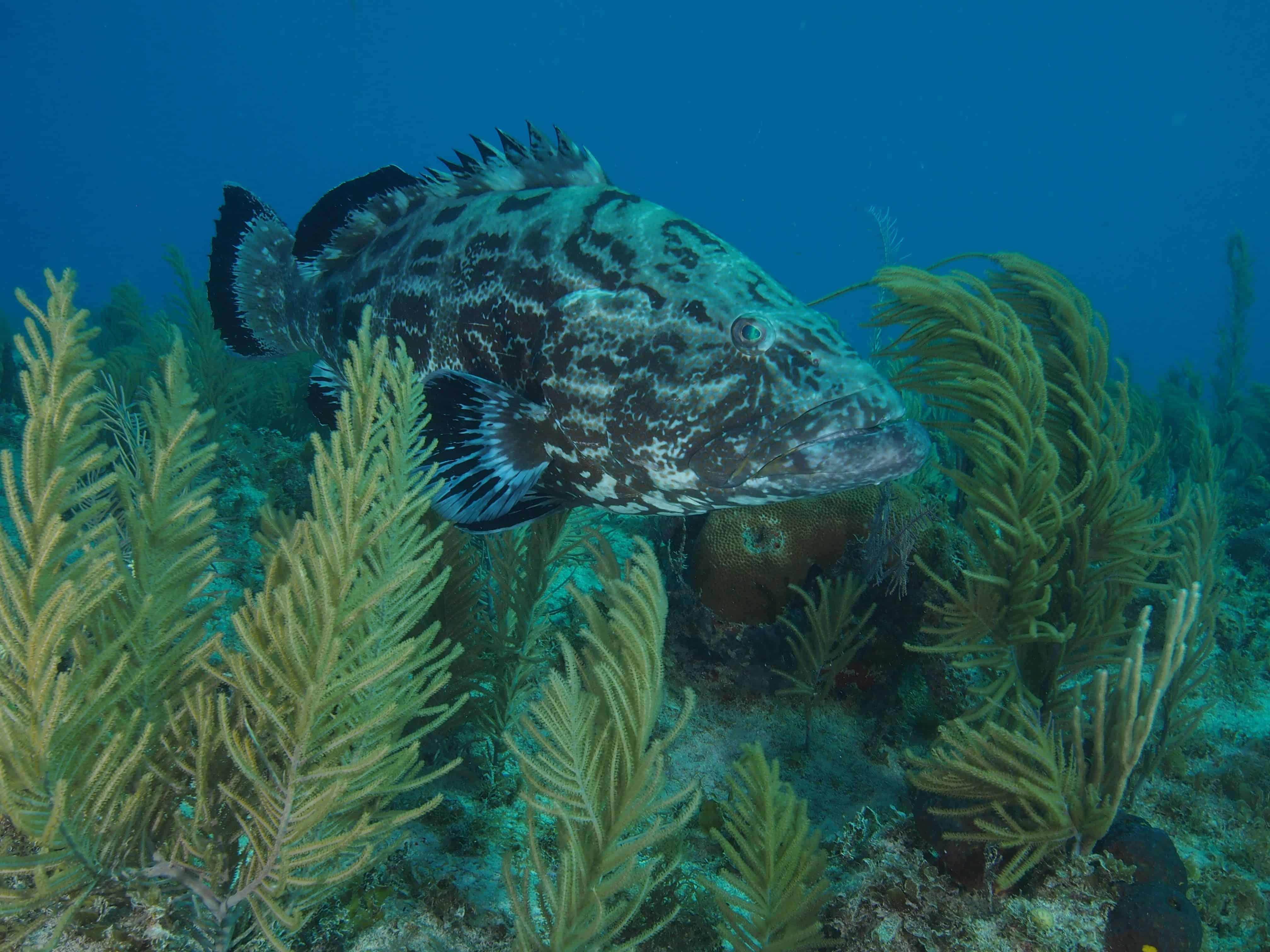 grouper while diving in cuba