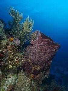 vase sponge while diving in cuba