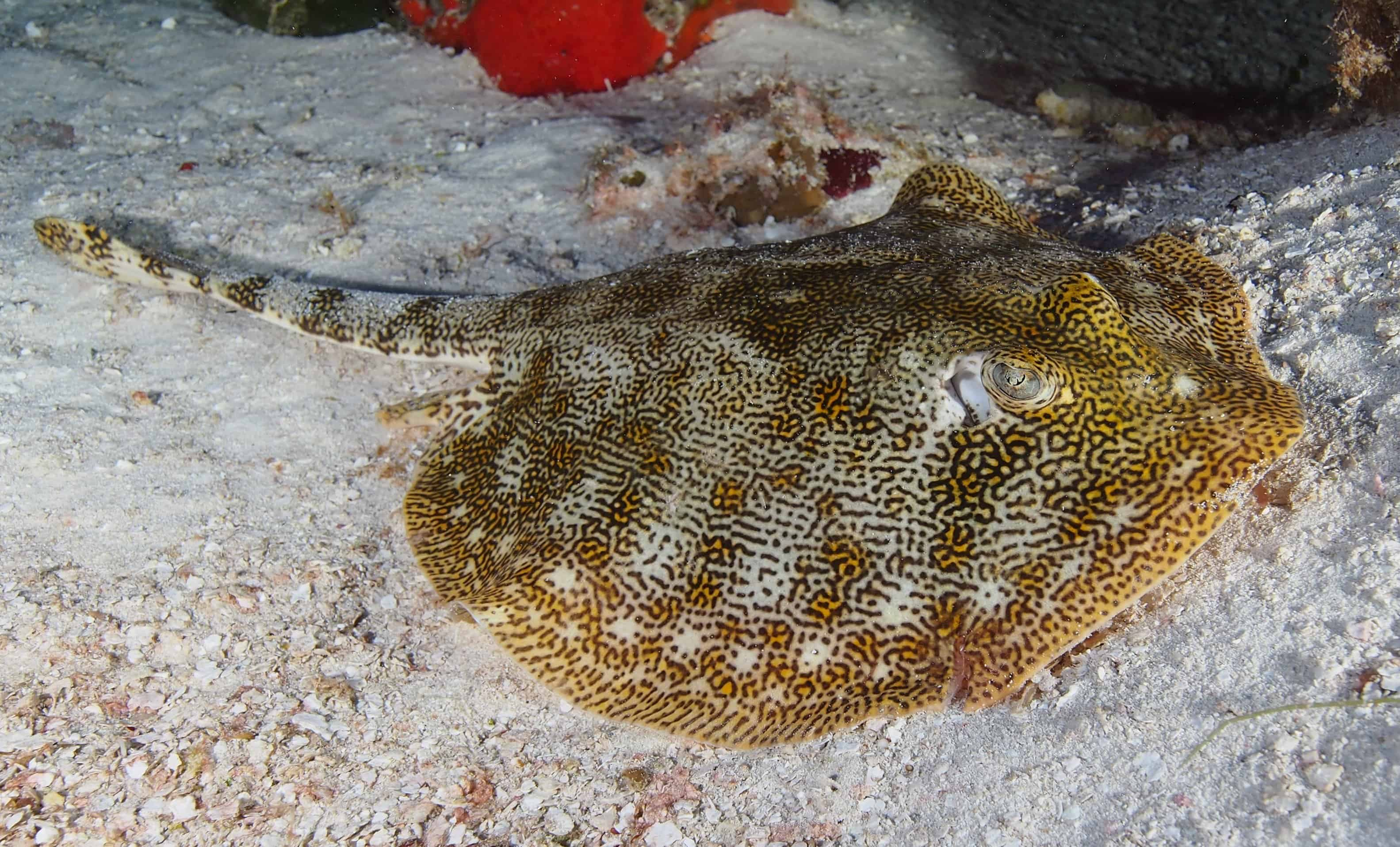 spotted ray in cozumel