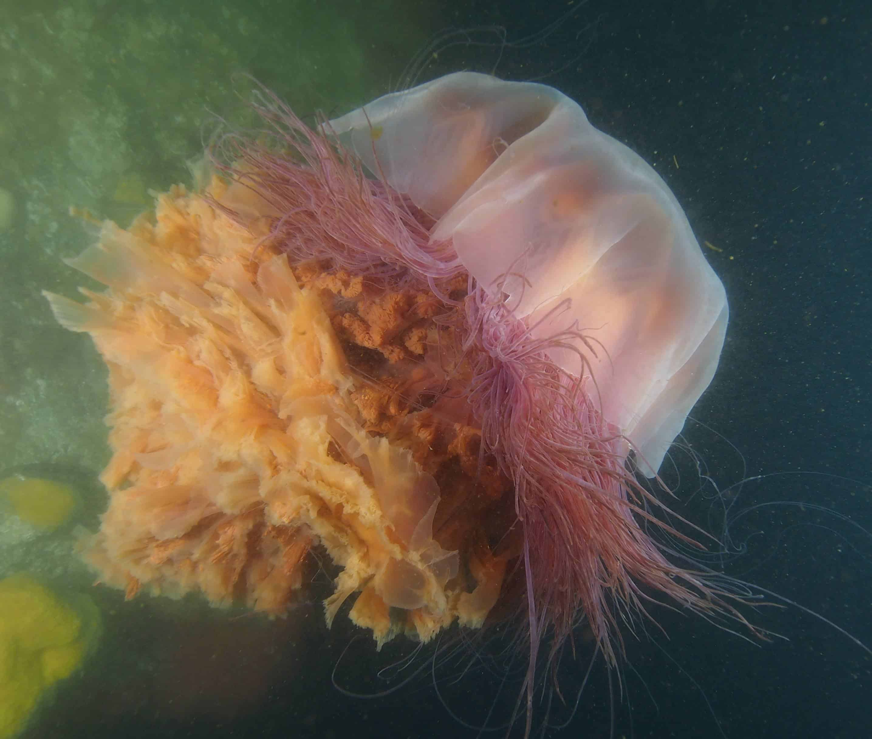 lions mane jellyfish on dive at gods pocket