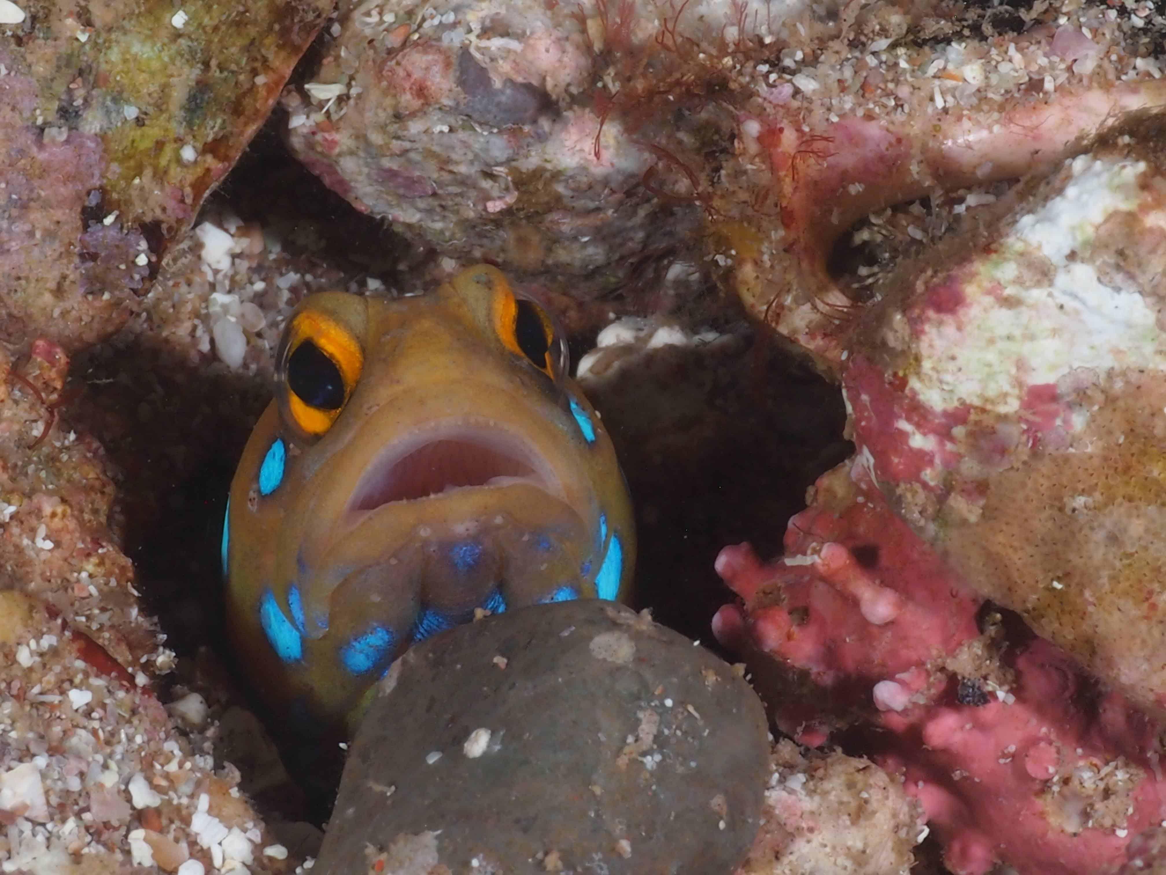 jaw fish at the midriff islands
