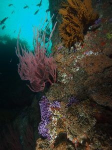 purple hydrocoral and sea fans at farnsworth bank