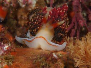 nudibranch at san miguel island