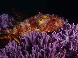 purple hydrocoral at farnsworth bank