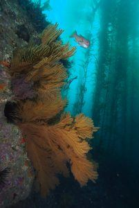 sea fans off the magician dive boat at catalina island