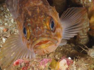 rockfish at santa cruz island aboard the peace dive boat