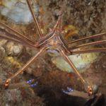 arrow-crab-blue-herron-bridge