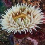 monterey-anemone
