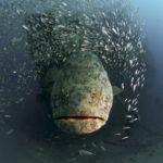 Goliath grouper in florida